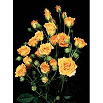 Rose CLEMENTINE ® Tanogrew