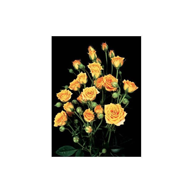 Rosa CLEMENTINA ® Tanogrew