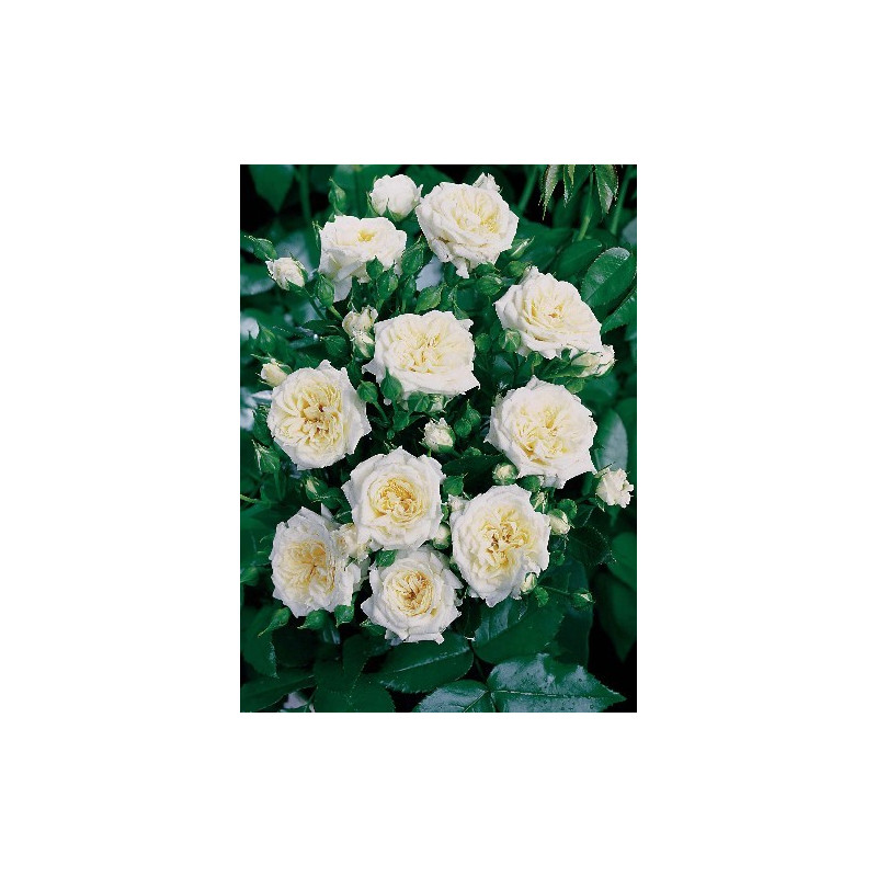 Rosa LITTLE WHITE ® Tan98145