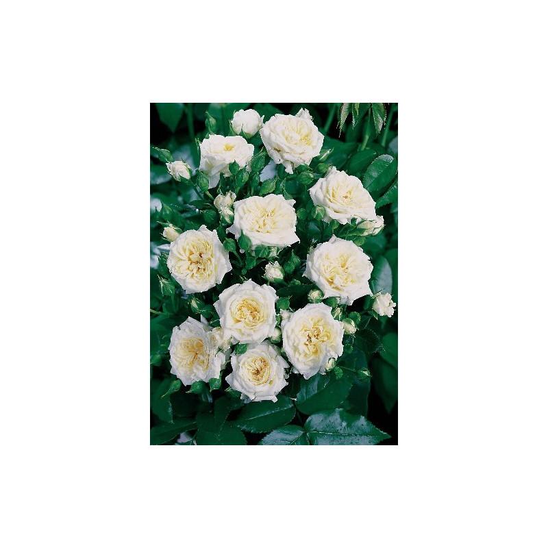 Rosier LITTLE WHITE ® Tan98145