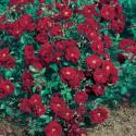 Rose AUSTRIANA ® Tananaistrua