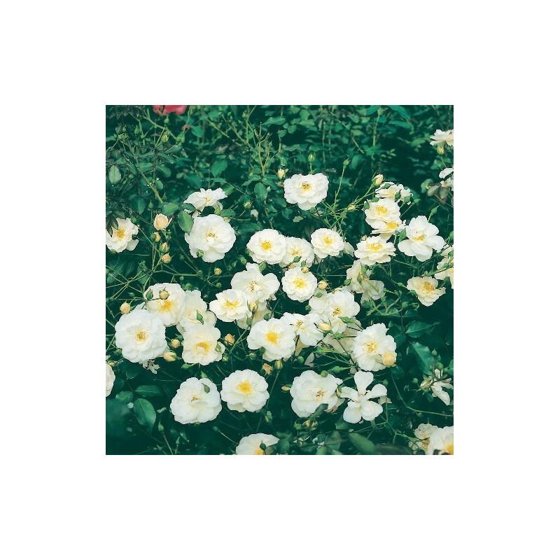 Rose NEIGE D'ETE ® Tanigino