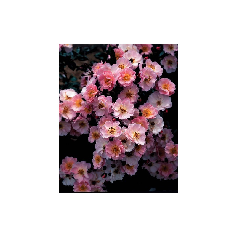 Rose PINK COTTAGE ® Chewily