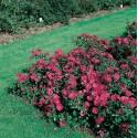 Rose XENIA ® Korpinka