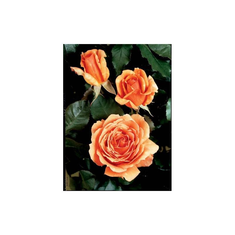 Rosa BORA BORA ® Tanmarsa
