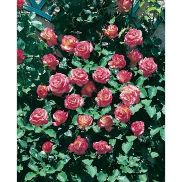 Rose ROXANE Gpt ® Lapdalsar
