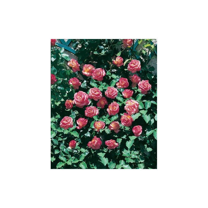 Rosa ROXANE Gpt ® Lapdalsar