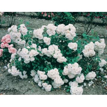 Rose ASPIRIN ® Taniripsa
