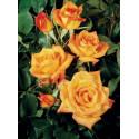 Rosebush SAHARA ® Tanarasah