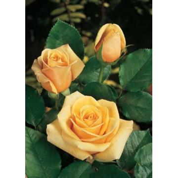 Rose PAUL RICARD ® Meinivoz