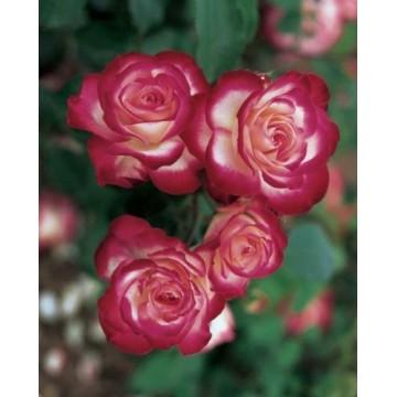 Rose JUBILE du PRINCE DE MONACO ® Meisponge