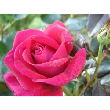 Rosa LE GRAND HUIT ® Gpt Adabaring