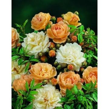 Rosa GHISLAINE DE FELIGONDE - rosal
