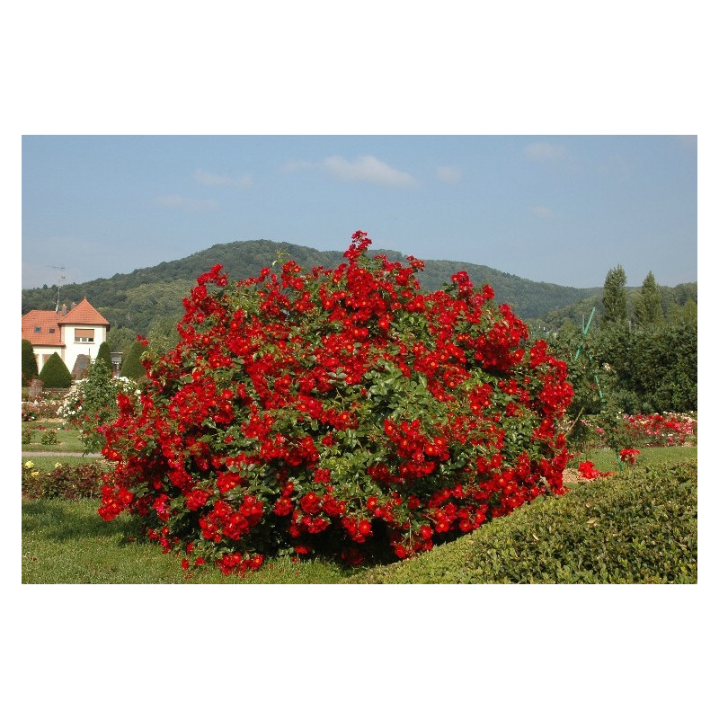 Rose ALSACE ® Pektarampe