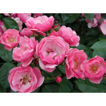 Rose ANGELA ® Korday