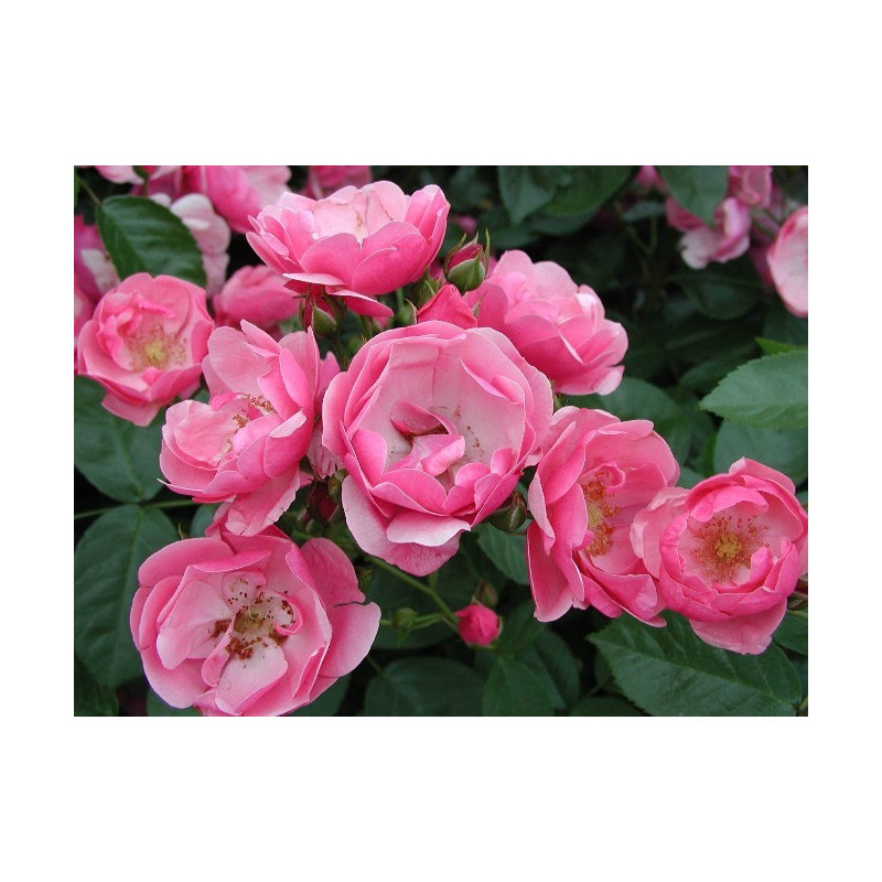 Rose ANGELA ® Korday
