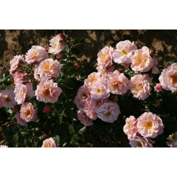 Rose MARTIN DES SENTEURS ®...