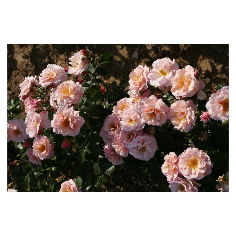 Rose MARTIN DES SENTEURS ® Adabaluc