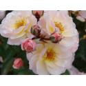 Rose ROCK ' N ROSE ® Adafitalu