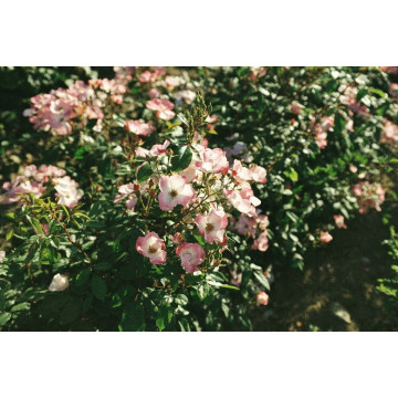 Rose RUSH ® Lenmobri