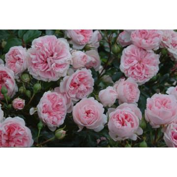 Rose BOSSA NOVA ® Pouloma