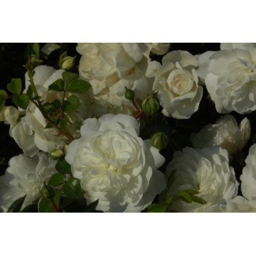 Rose SNOWBALLET ® Claysnow