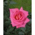 FRAGRANZA di rosa ROYAL Adaborop