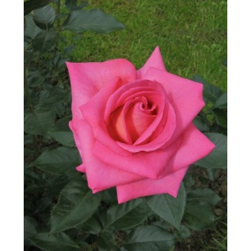 Rosa PARFUM ROYAL ® Adaborop