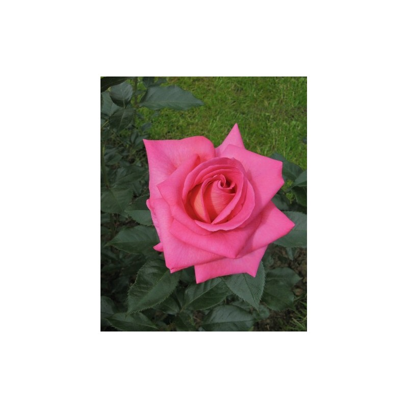 Rose PARFUM ROYAL ® Adaborop