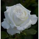 Rose PIERRE ARDITI ® Meicalanq