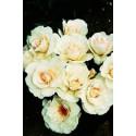 Rosa MARGARETH MERRILL ® Harkuly