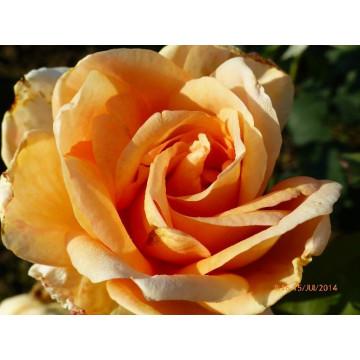 Rosa BEAUTE