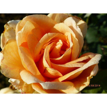 Rose BEAUTE