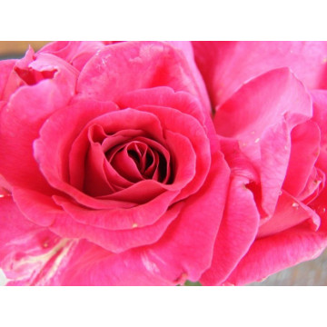 Rose CRITERION