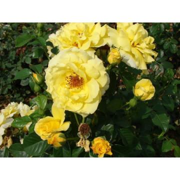 Rose LUCIA