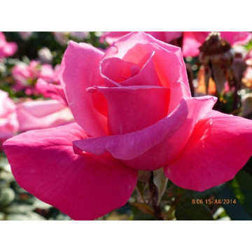Rose PRIMA BALLERINA