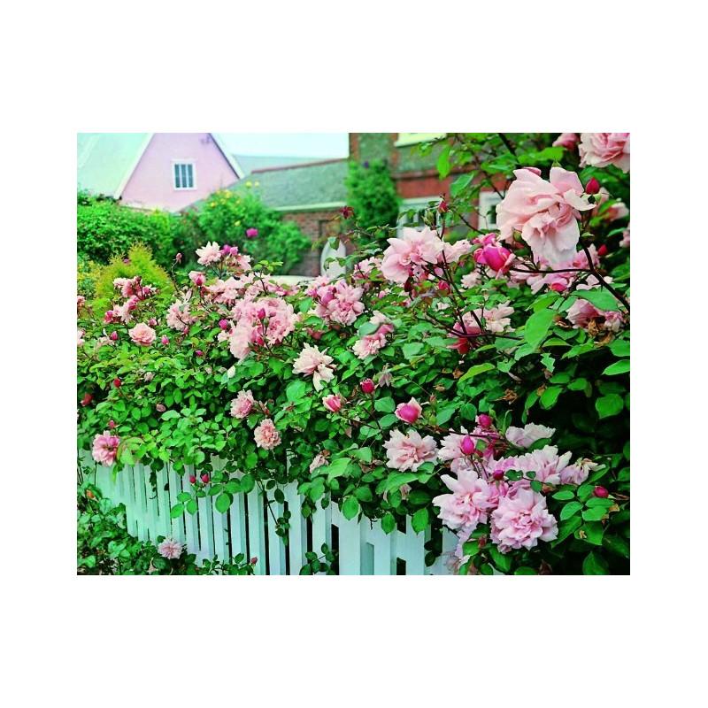 Rose ALBERTINE