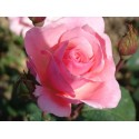 Rose QUEEN ELISABETH
