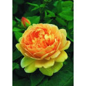 Rose GOLDEN CELEBRATION ® Ausgold