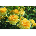 Rosa MOLINEUX ® Ausgold