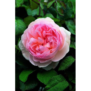 Rosa SHARIFA ASMA ® Ausreef