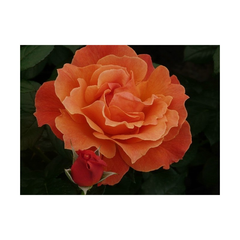 Rosa FELLOWSHIP ® Harwelcome