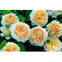 Roseto CROCUS ROSE Ausquest