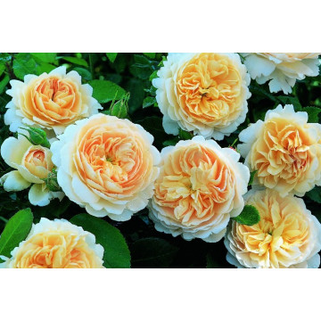 Rosier CROCUS ROSE ® Ausquest
