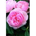 Rosa HERITAGE ® Ausblush