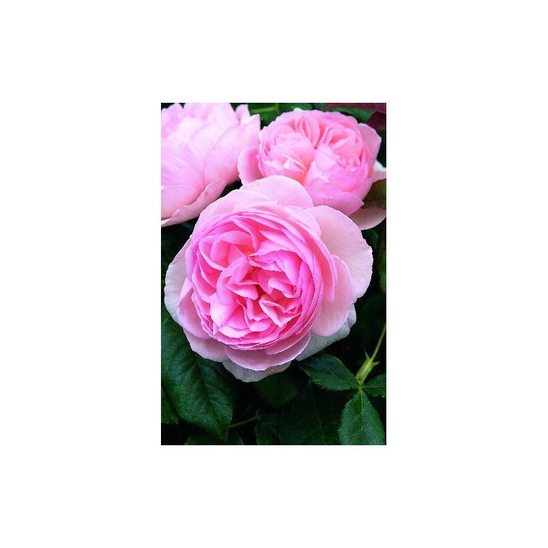 Rose HERITAGE ® Ausblush