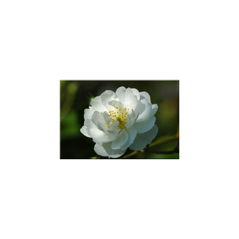 Rose GUIRLANDE D'AMOUR