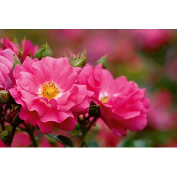 Rosa EMERA ® Noa907500...