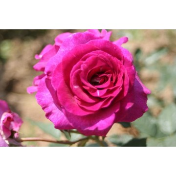 Rose VIOLETTE PARFUMEE ®...