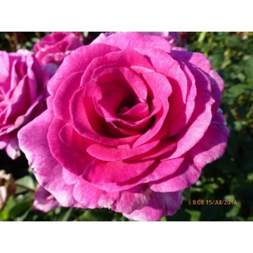 Rosa VIOLETTE PARFUMEE Gpt ® Dorientsar
